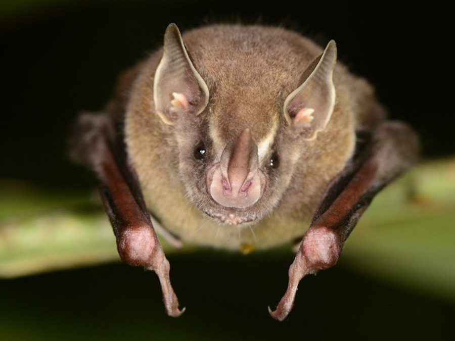 How bats lost their color vision   eLife Science Digests ...