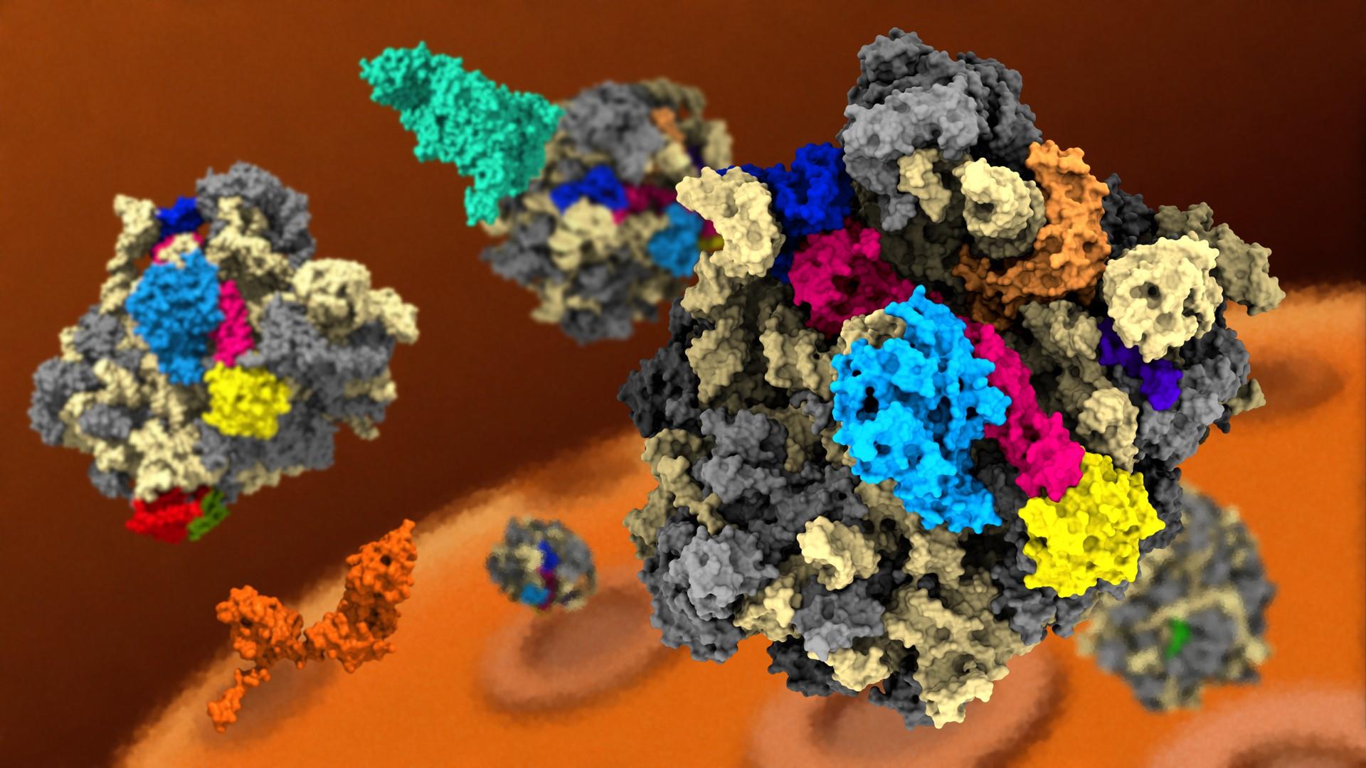 Ribosomes  Assemble