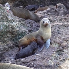 South American fur seals