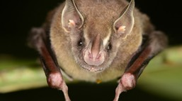 Picture of the bat Artibeus watsonii