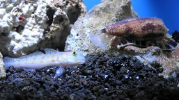The cone snail Conus geographicus eating a goby fish