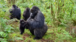 A young gorilla is supported by an older group member.