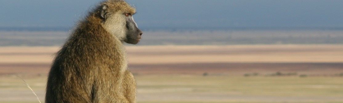 Male baboon looking into the distance