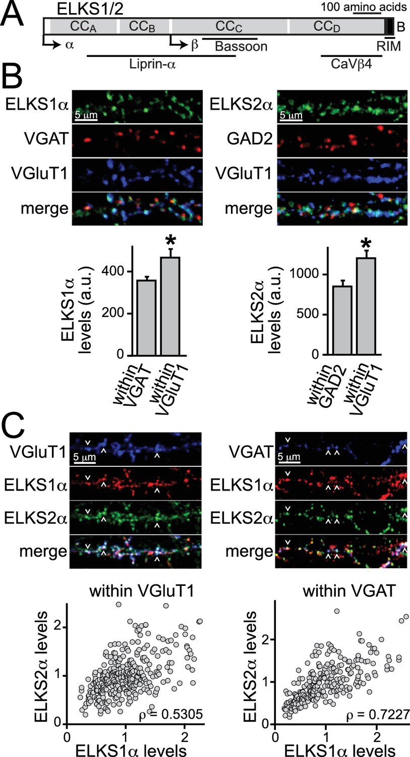 ELKS controls the pool of readily releasable vesicles at ...