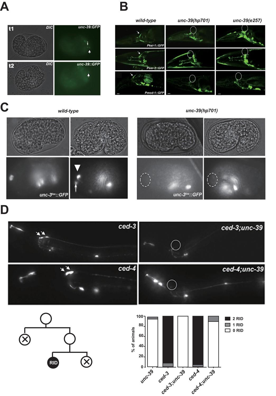 Neuroendocrine modulation sustains the C. elegans forward motor ...