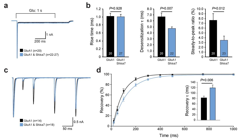 The AMPA receptor-associated protein Shisa7 regulates hippocampal ...