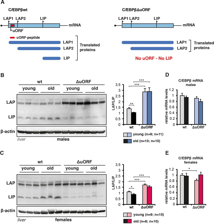 reduced expression of c ebpb lip