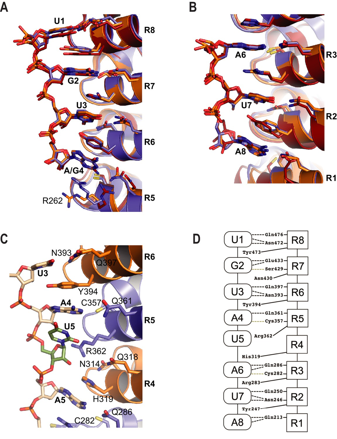 Engineering a conserved RNA regulatory protein repurposes its ...