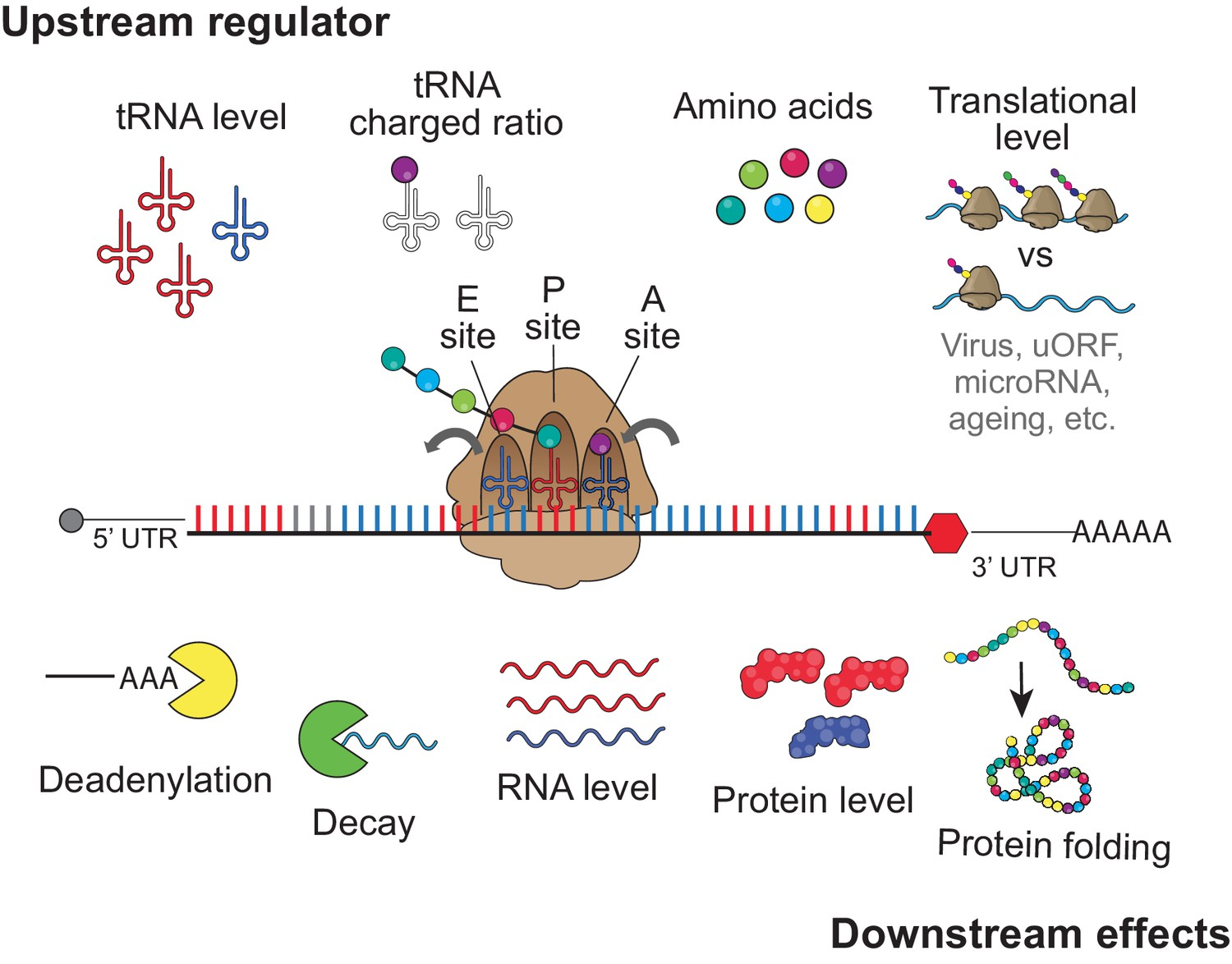 Translation Affects Mrna Stability In A Codon Dependent Manner Human Cells Elife