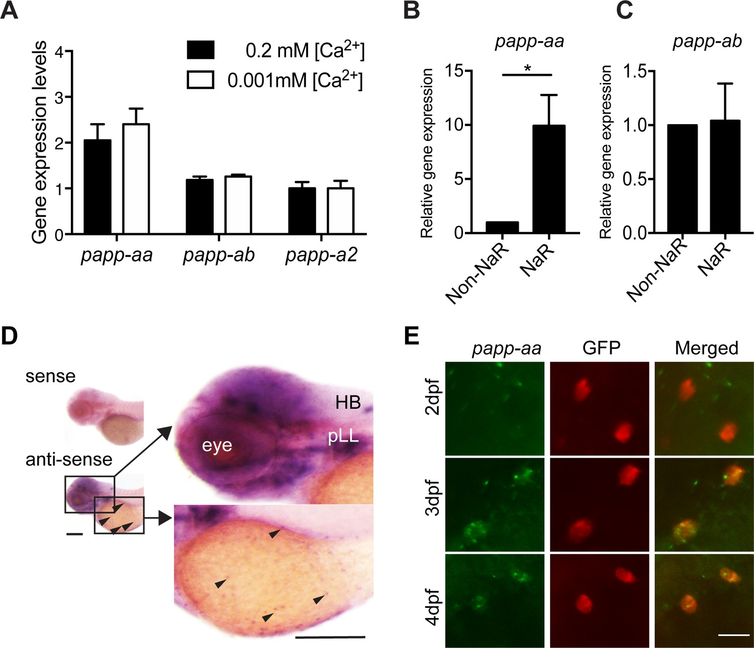 The metalloproteinase Papp-aa controls epithelial cell quiescence ...