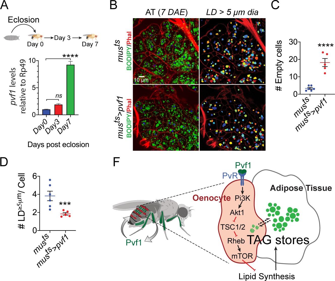 Drosophila PDGF/VEGF signaling from muscles to hepatocyte-like ...