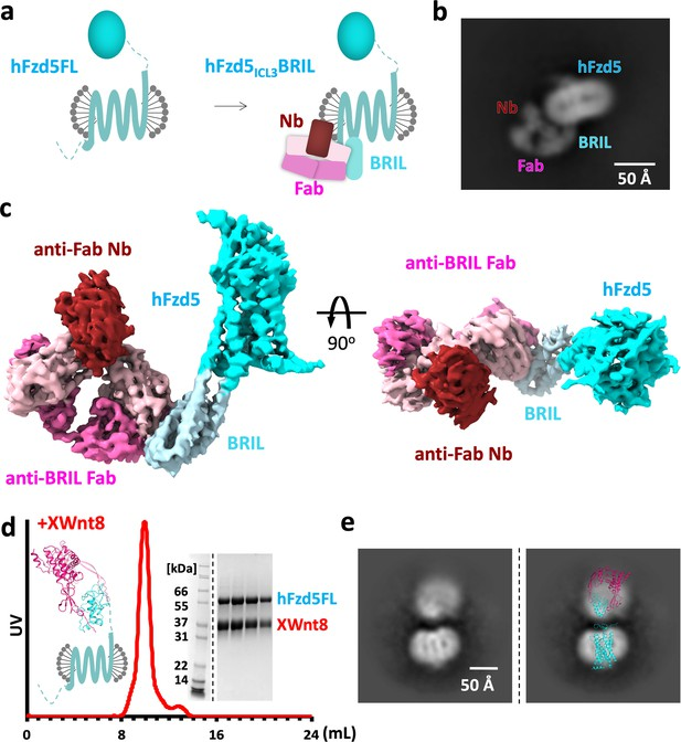 Figures and data in Cryo-EM structures and functional