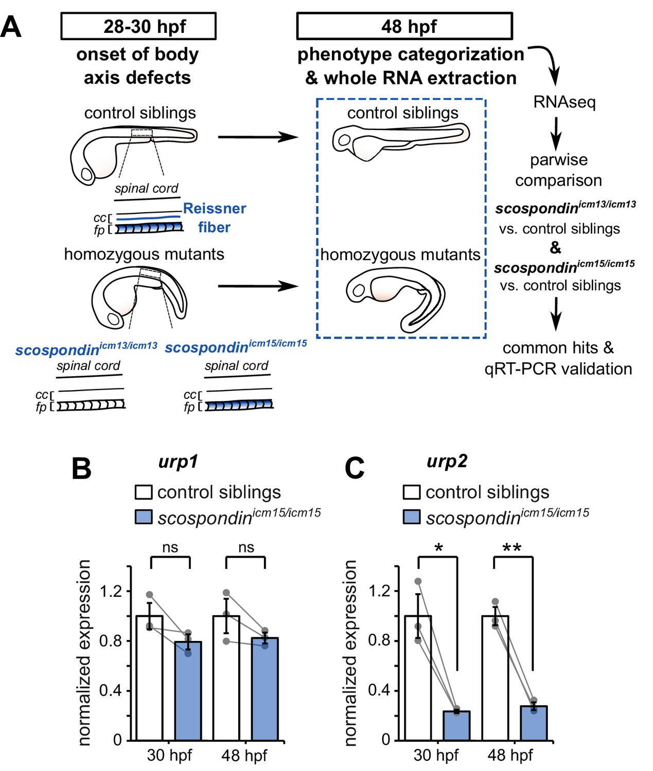 Adrenergic activation modulates the signal from the Reissner fiber ...