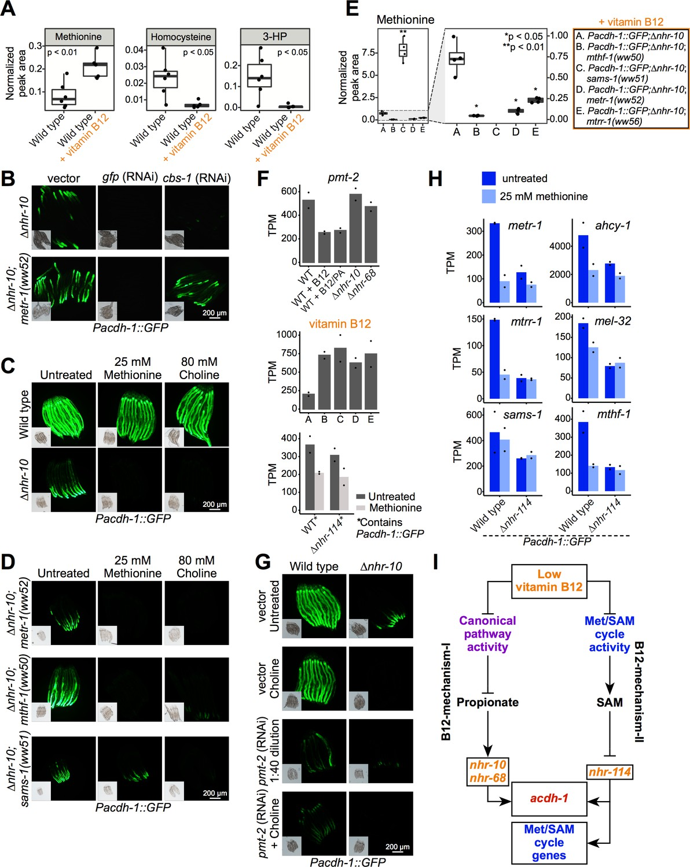 Caenorhabditis elegans methionine/S-adenosylmethionine cycle ...