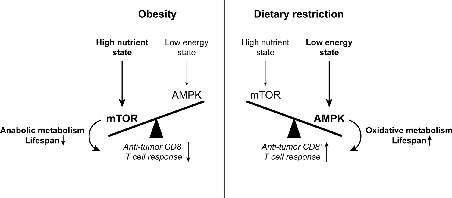 The effects of age and systemic metabolism on anti-tumor T cell ...