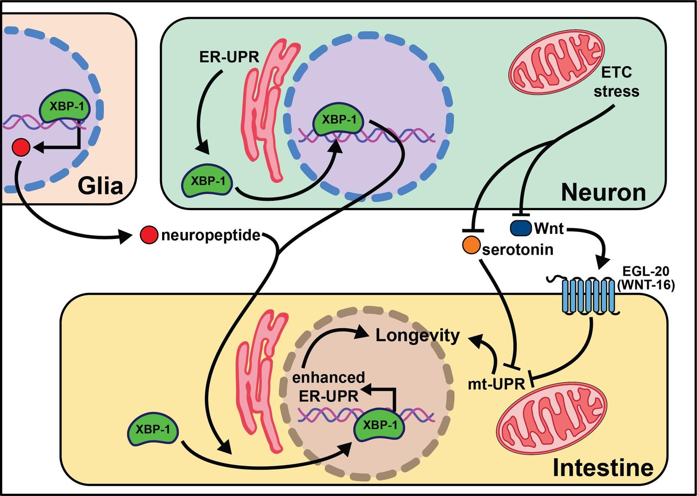 Cell non-autonomous regulation of health and longevity | eLife