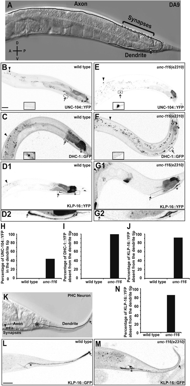 Kinesin 1 regulates dendrite microtubule polarity in unc 116 kinesin 1 is required for the minus end out mt polarity in the da9 dendrite mitanshu Gallery
