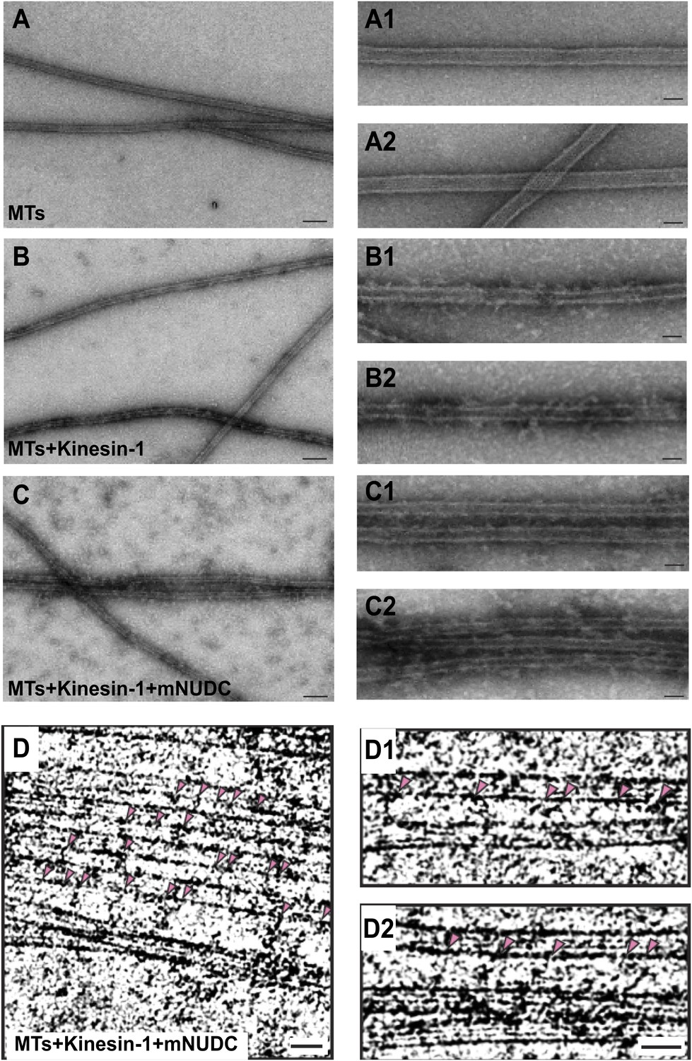 Kinesin 1 regulates dendrite microtubule polarity in purified kinesin 1 complex bundles anti parallel mts in vitro mitanshu Gallery