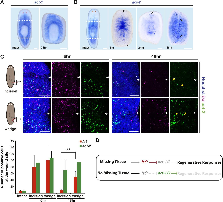 Tissue absence initiates regeneration through Follistatin