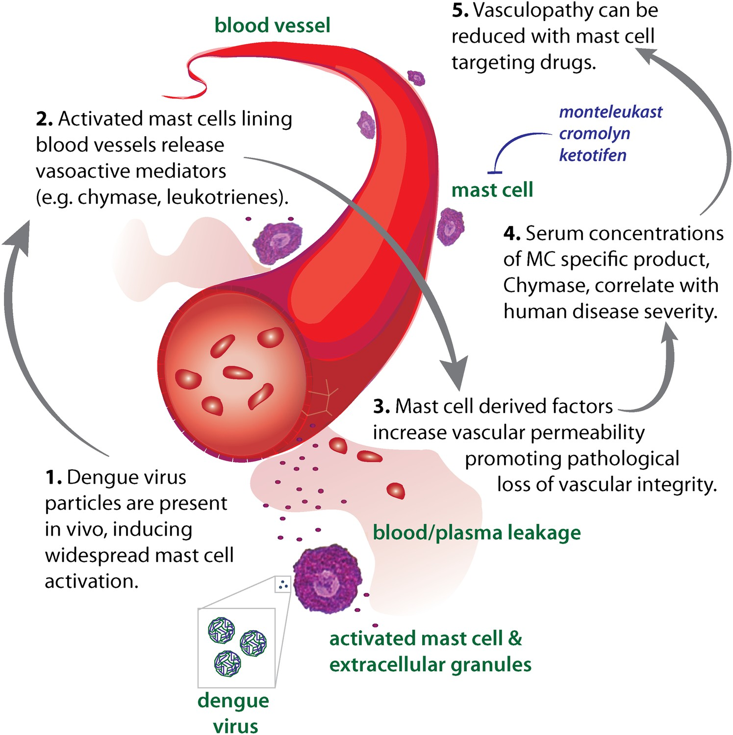 Contributions of mast cells and vasoactive products, leukotrienes