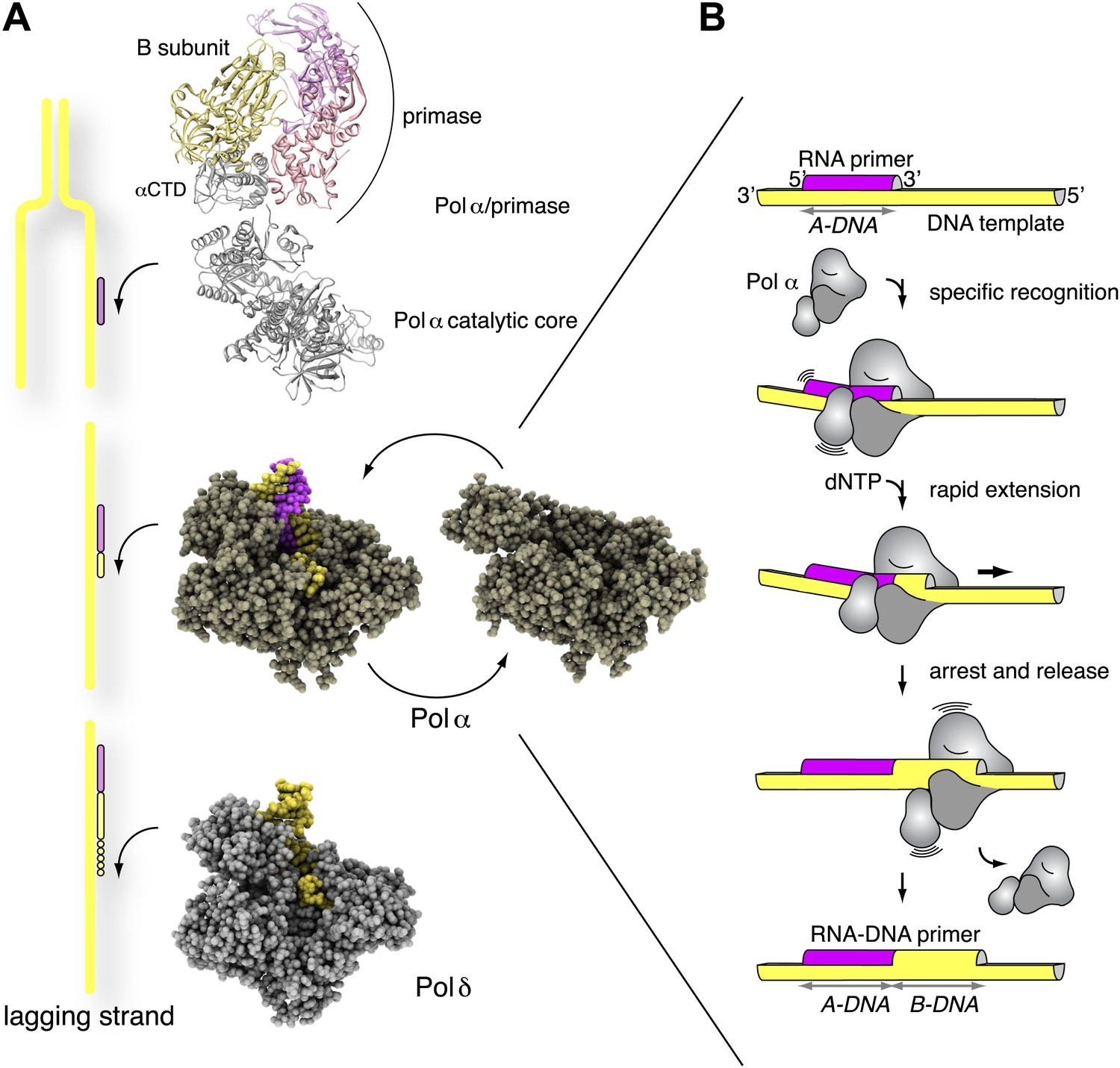 mechanism for priming dna synthesis by yeast dna
