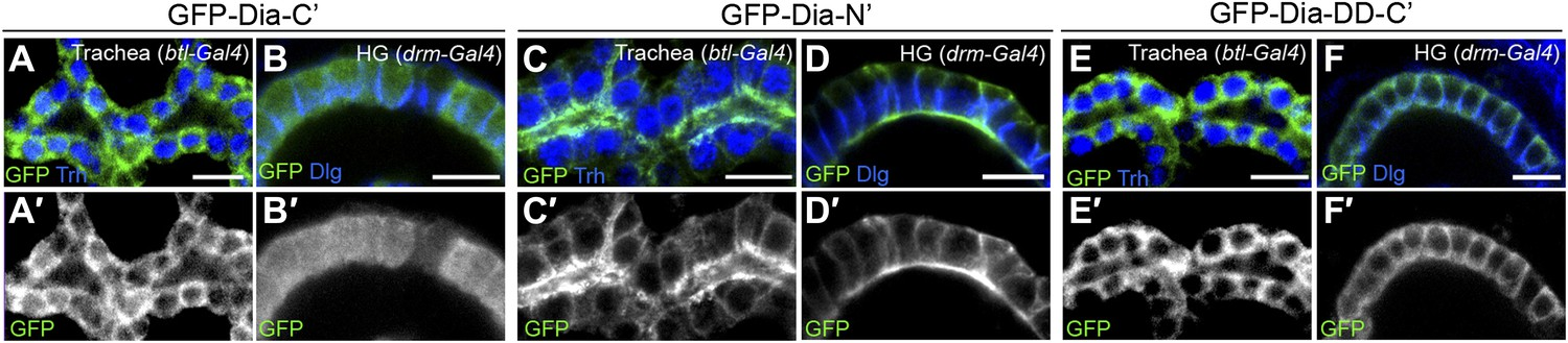 Apical targeting of the formin Diaphanous in Drosophila
