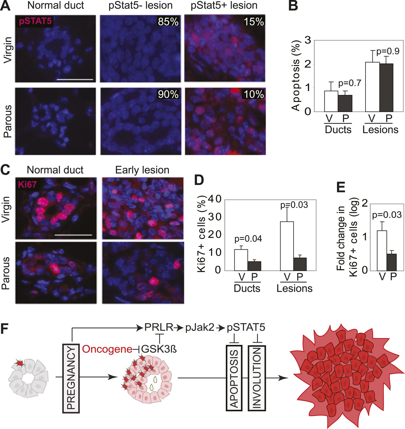 Mechanism and preclinical prevention of increased breast