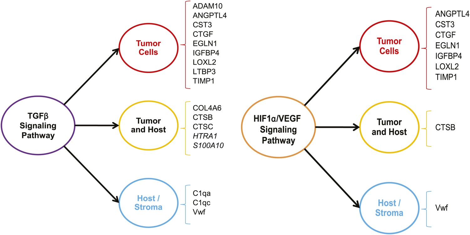 Extracellular Matrix Signatures Of Human Mammary Carcinoma Identify Eagle Diagram Group Picture Image By Tag Keywordpicturescom The Tgf And Hif1 Vegf Pathways Are Up Regulated In Highly Metastatic Tumors