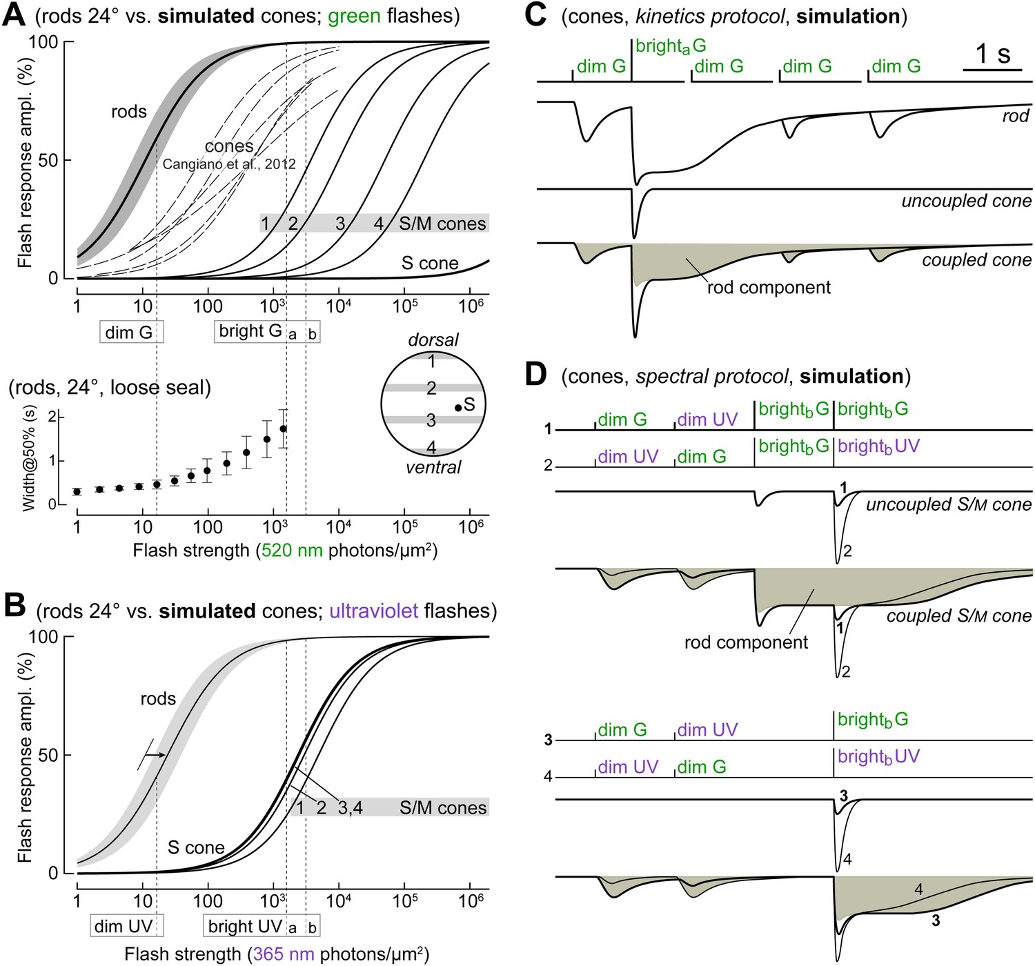 Mouse Rods Signal Through Gap Junctions With Cones Elife
