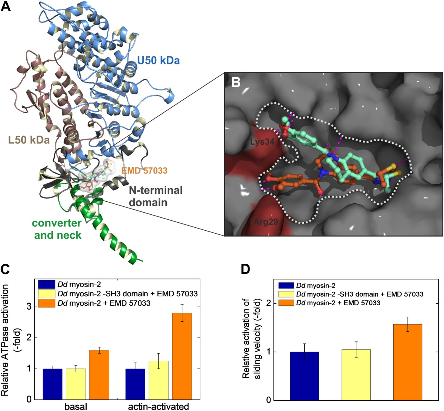Small molecule-mediated refolding and activation of myosin