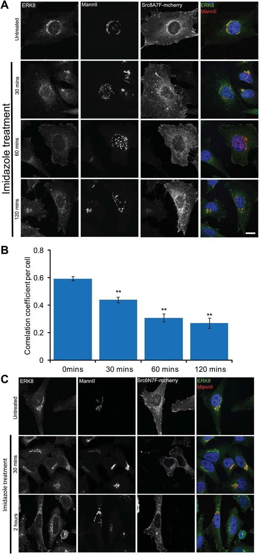 ERK8 is a negative regulator of O-GalNAc glycosylation and