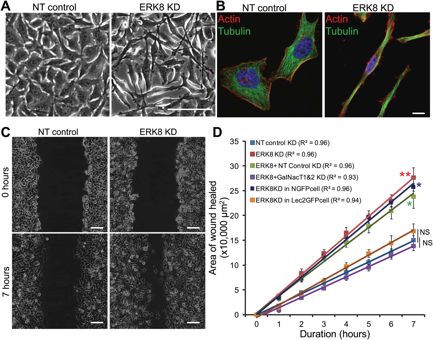 ERK8 is a negative regulator of O-GalNAc glycosylation and cell
