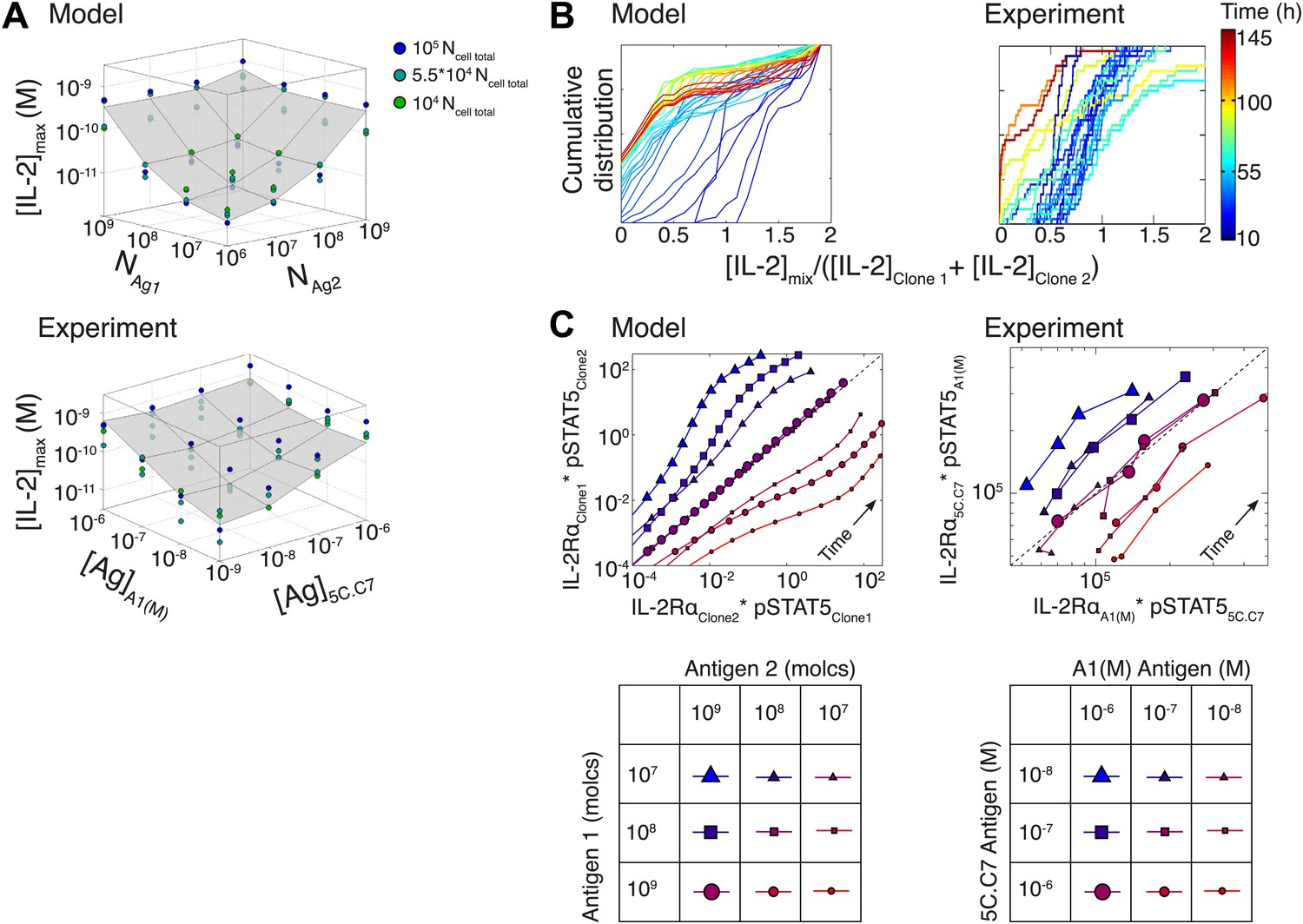 T cells translate individual, quantal activation into