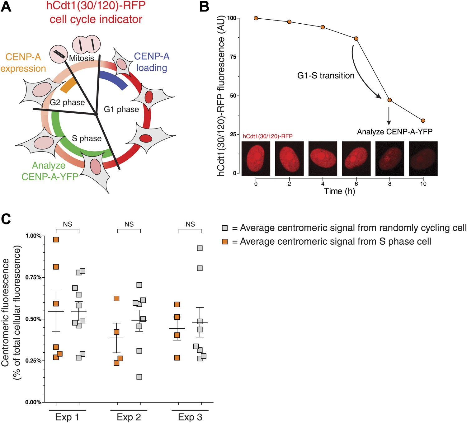 The Quantitative Architecture Of Centromeric Chromatin Elife This Is A Phase Split Diagram For 100 Second Signal Cycle Cenp Levels Are Equivalent Between S And Randomly Cycling Cells