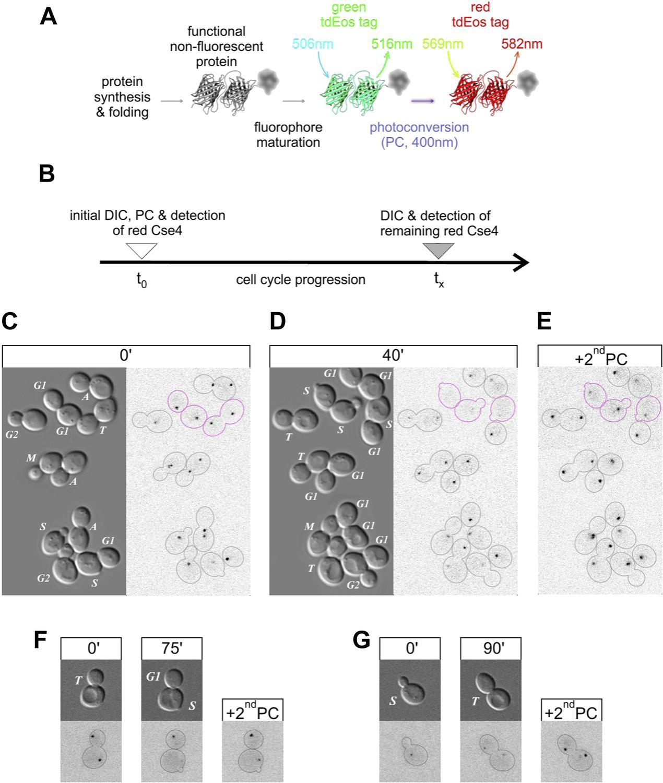 Imaging the fate of histone Cse4 reveals de novo replacement