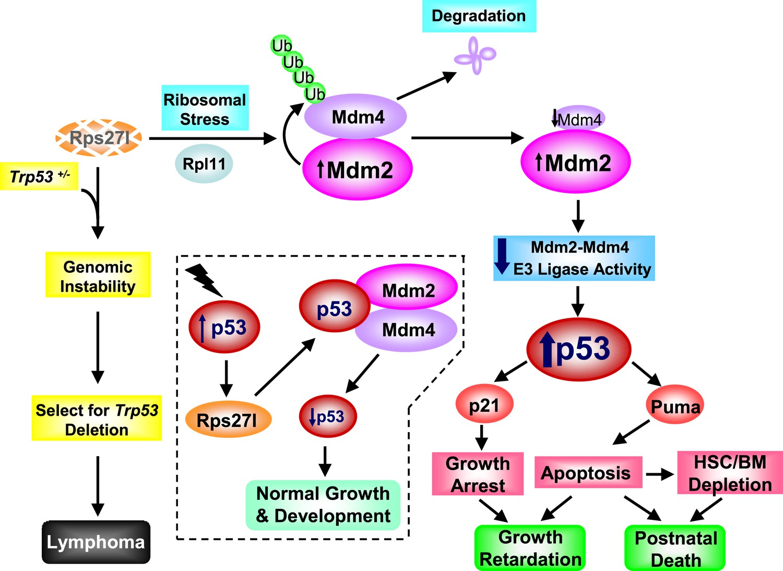 ribosomal protein s27