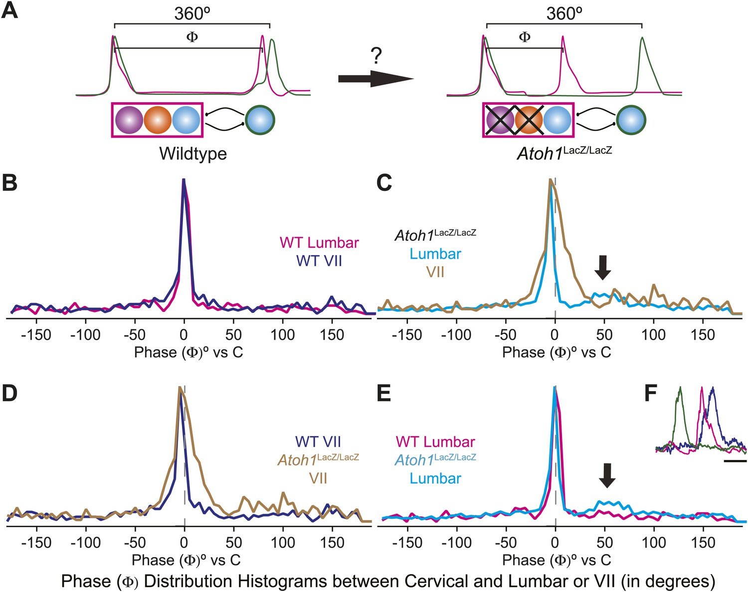 Atoh1 Dependent Rhombic Lip Neurons Are Required For Temporal Delay Figure 2 10d Basic Armstrong Oscillator Circuit Loss Of Rl And Rtn Does Not Change The Phase Relationship Between Putative Respiratory Oscillators