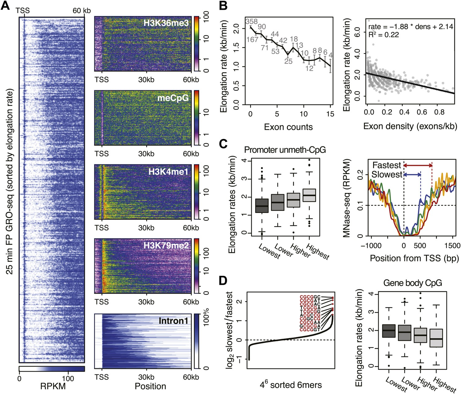 Genome-wide dynamics of Pol II elongation and its interplay