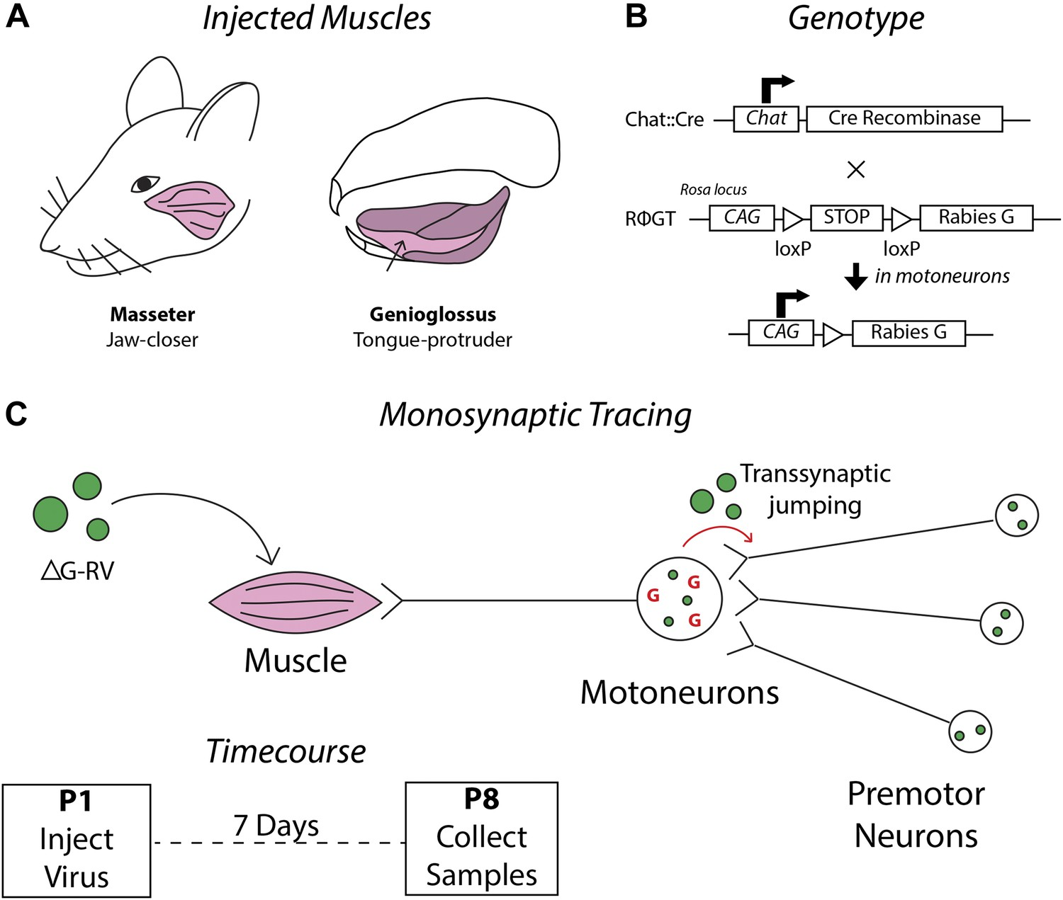 Monosynaptic Premotor Circuit Tracing Reveals Neural Substrates For Wiring Diagram Steven Ma Schematics Detailing The Strategy