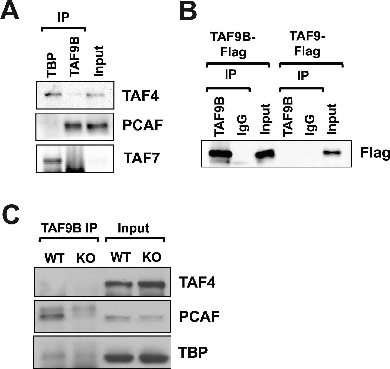 Core promoter factor TAF9B regulates neuronal gene