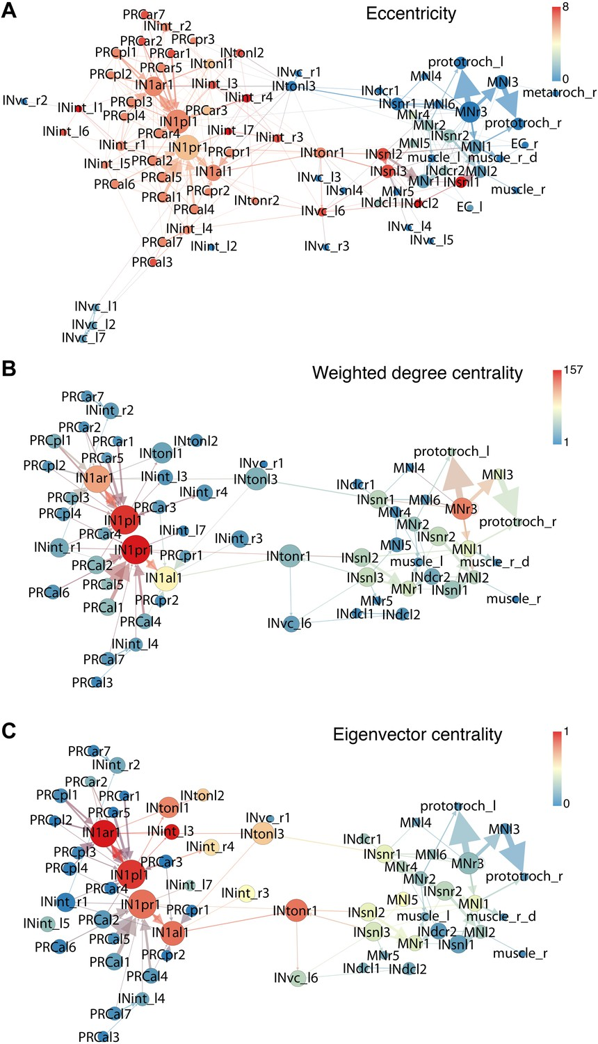 Neuronal Connectome Of A Sensory Motor Circuit For Visual Navigation Open Short Tracer Connectivity Graphs The Platynereis Larval