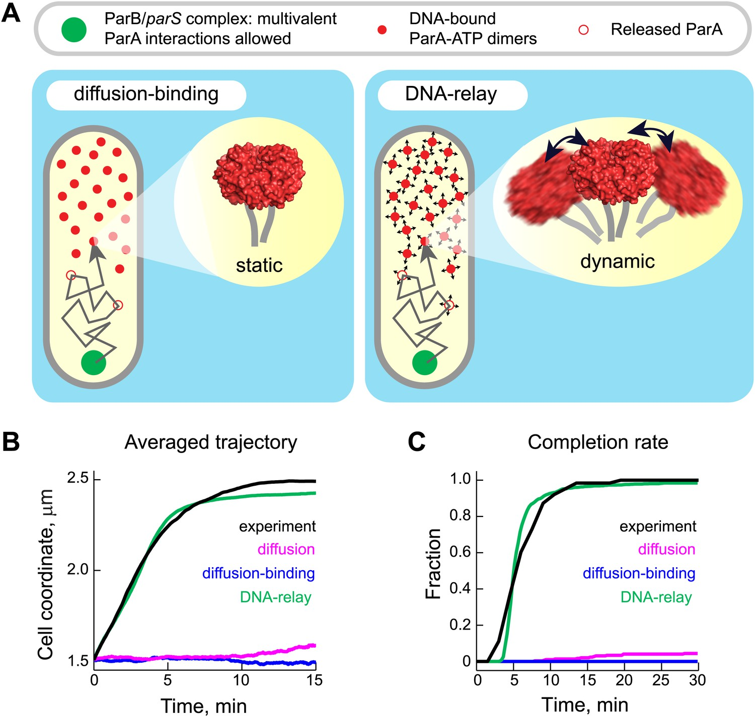 Evidence For A Dna Relay Mechanism In Parabs Mediated Chromosome Release Time Definition The Model Results Robust Translocation Of Parb Pars Complex