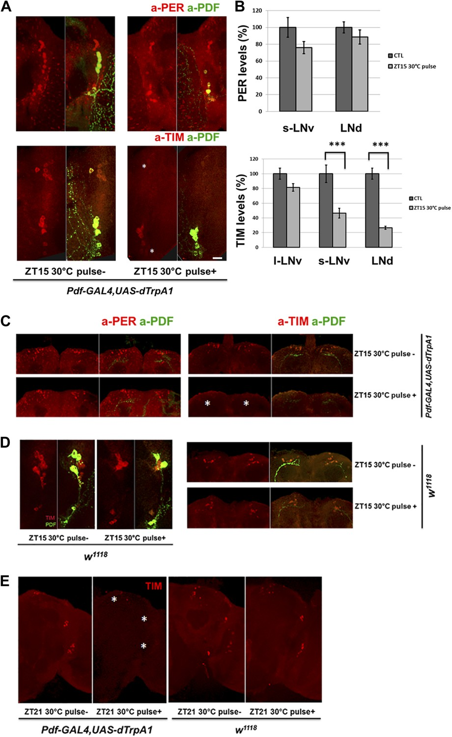 Pdf Neuron Firing Phase Shifts Key Circadian Activity Neurons In Led Driver 6 Channels With Shift Control Tim But Not Per Downstream Responds To M Cell