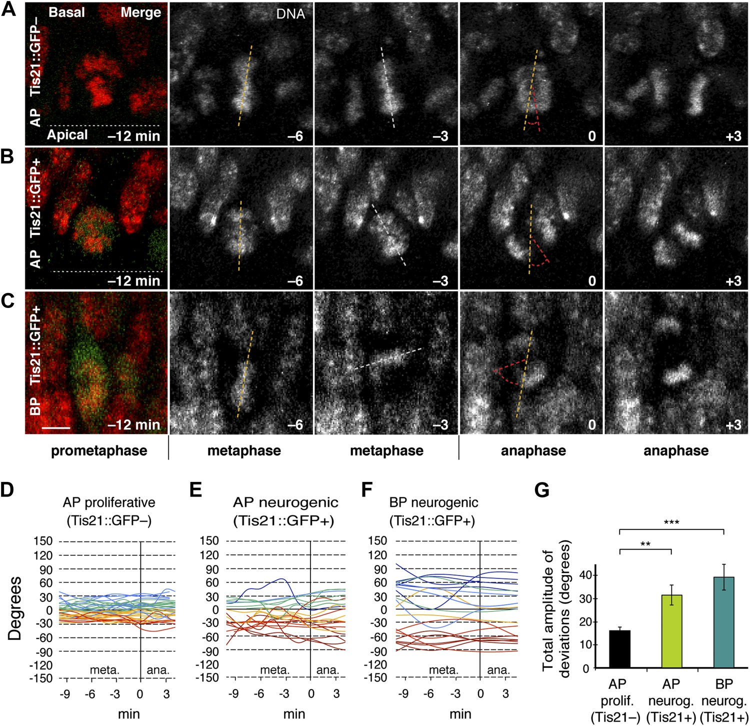 Specific polar subpopulations of astral microtubules control spindle