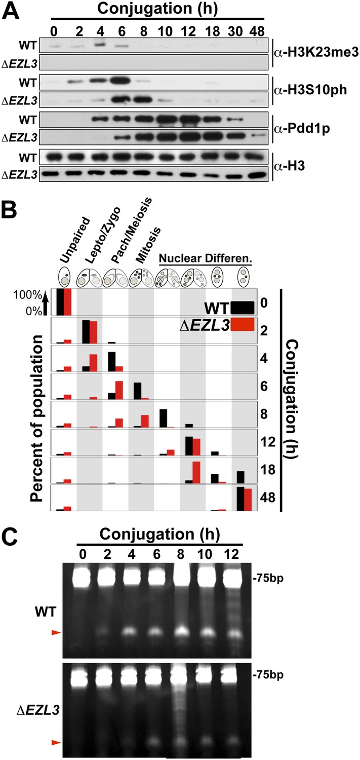 Methylation of histone H3K23 blocks DNA damage in