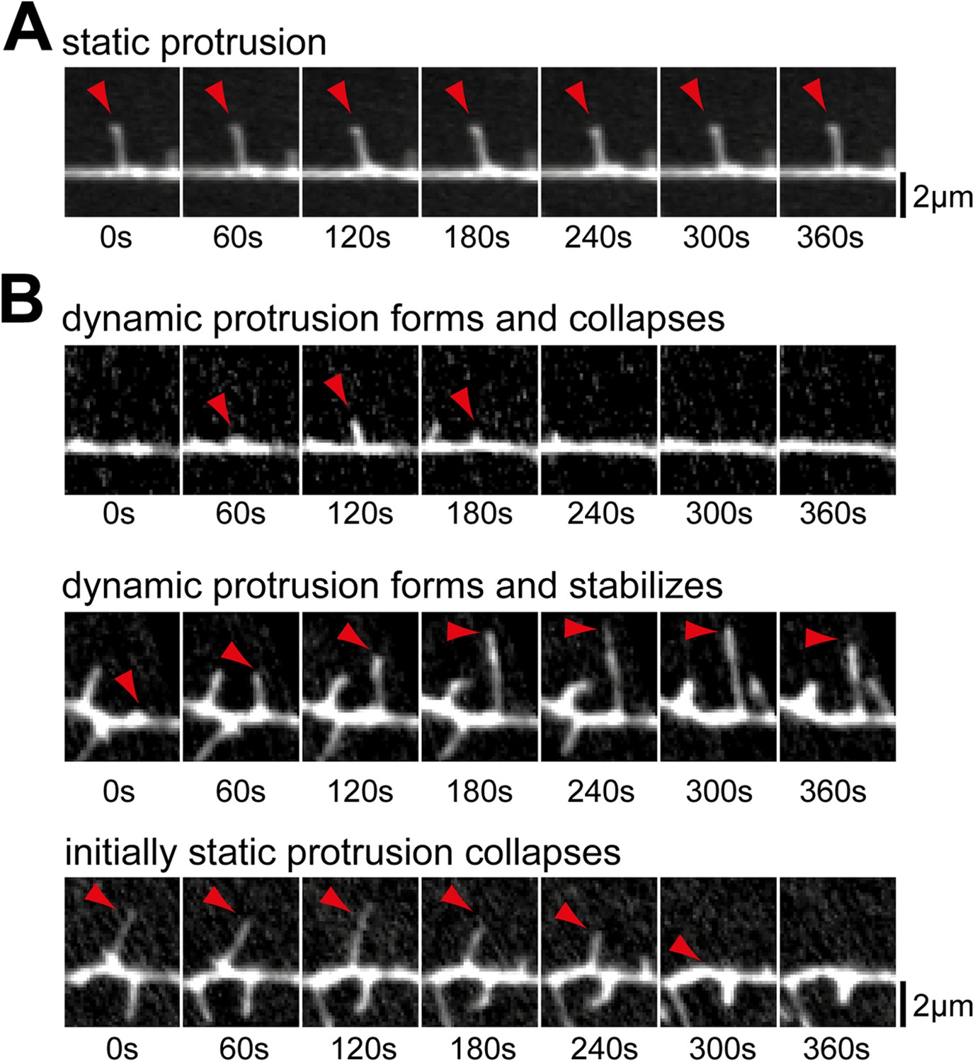 Dynamic recruitment of the curvature-sensitive protein