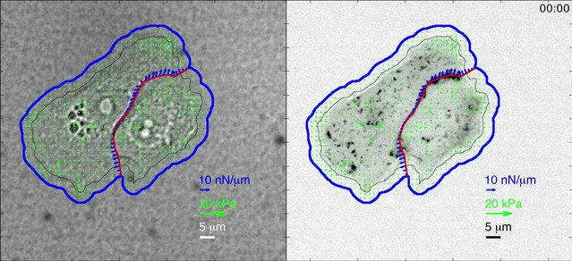 Mapping the dynamics of force transduction at cell–cell junctions of