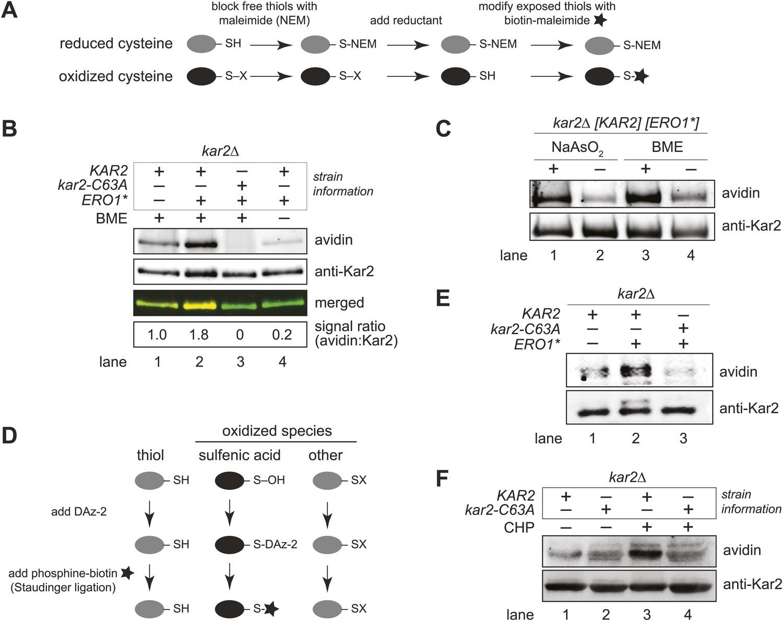 Redox signaling via the molecular chaperone BiP protects