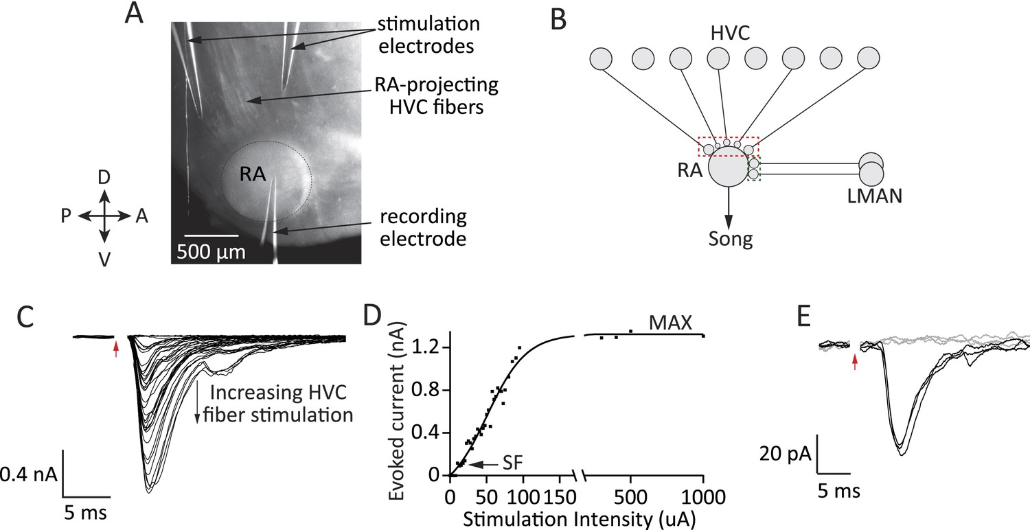A Neural Circuit Mechanism For Regulating Vocal Variability During Synaptic Electronic Circuits That Learn And Forget Like Experimental Approach Probing Inputs To Ra Projection Neurons From Lman Hvc Different Stages Of Song Development