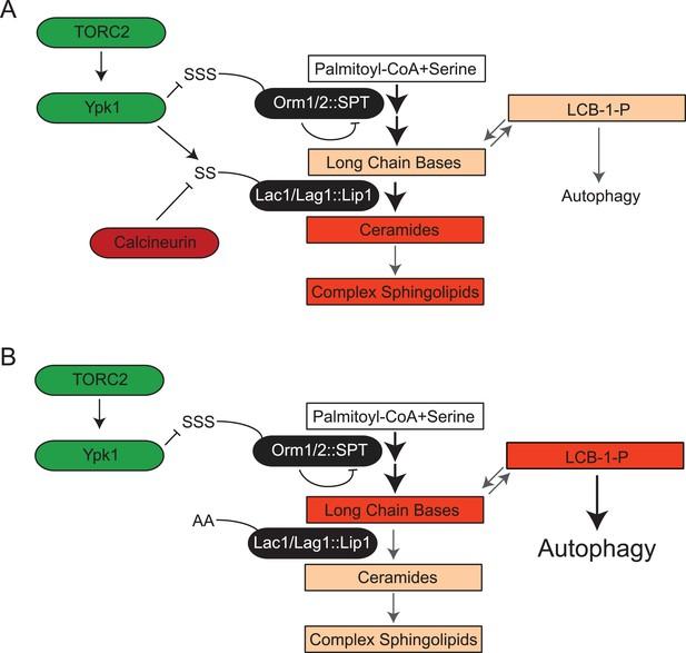 TORC2-dependent protein kinase Ypk1 phosphorylates ceramide